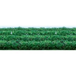 živý plot zelený, výška 1.5 cm, délka 12cm, 8 ks