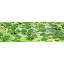lekníny, 12 rostlin průměru cca 2.5 cm